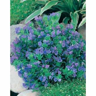 Echium Blue Bedder Flower Seeds