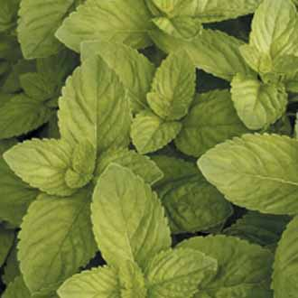 how to grow peppermint from seeds indoors