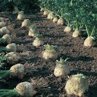 Celeriac Brilliant Seeds