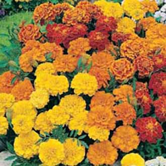 Marigold  French  Dwarf Double MixedFrench Marigold Dwarf