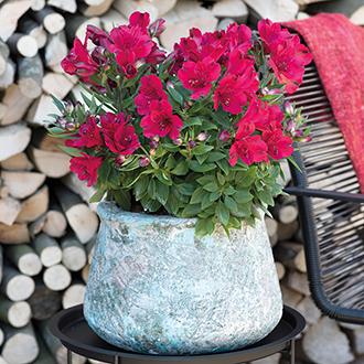 Alstroemeria Inticancha Valentino Flower Plants