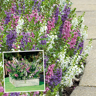 Angelonia Serena Mixed Flower Plants
