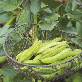 Broad Bean Luz de Otono Seeds