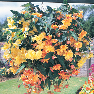 Begonia Illumination Apricot Shades F1 Flower Plants