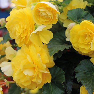 Begonia Illumination Lemon Flower Plants