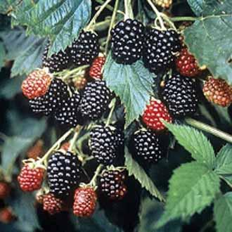 Blackberry Loch Ness AGM Fruit Plant (Floricane)