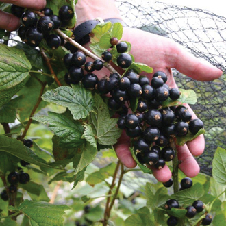 Blackcurrant Big Ben Fruit Plant