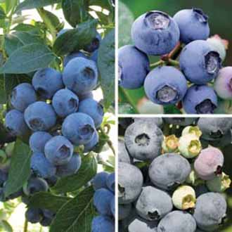 Blueberry Plants All Season Collection