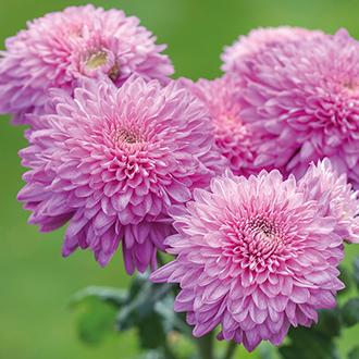 Chrysanthemum Gompie Purple