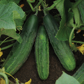 Cucumber Snacker F1 Plants From Mr Fothergill S Seeds And