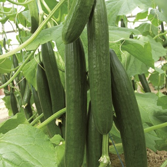 Cucumber Bella F1 Grafted Veg Plants