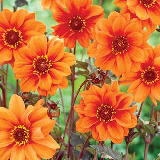 Dahlia Bishop of Oxford Flower Bulbs