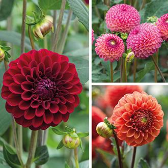 Dahlia Ball Flowered Flower Bulb Collection