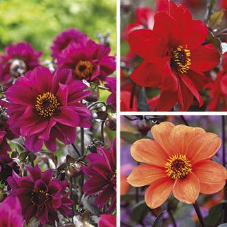 Dahlia Bishop Flower Bulb Collection