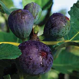 how to get fig plant to have more branches