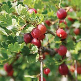 Gooseberry Season Help? Essay