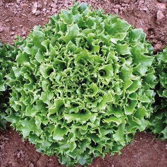 Lettuce Mazur Seeds