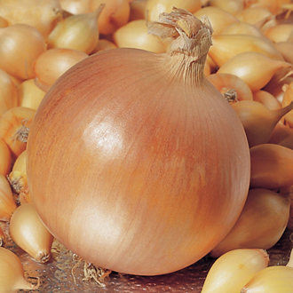 Onion Hercules Bulbs