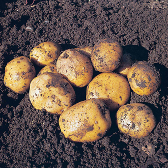 Potato Maris Peer-Second Cropping