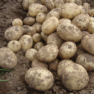 Potato Gemson-Second Cropping
