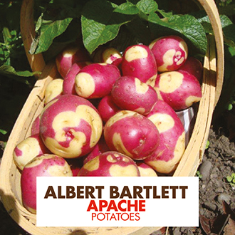 Potato Apache (Maincrop Albert Bartlett Seed Potato)