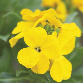 Wallflower Cloth of Gold Flower Plants
