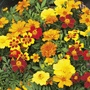 Marigold Disco Mixed