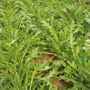 Rocket  Tirizia Seeds