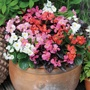 Begonia Devil's Delight Mixed F1