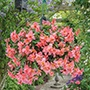 Begonia Sweet Coral Cascade™