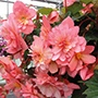 Begonia 'Sweet Coral Cascade™'