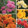Outdoor Chrysanthemum Pennine Flower Plant Collection
