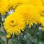 Chrysanthemum Margaret Sunny