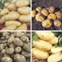 Second Cropping Potato Collection