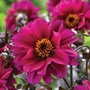 Dahlia Bishop of Canterbury Flower Bulbs