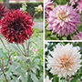 Dahlia Dinner Plate Flower Bulb Collection