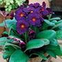 Polyanthus Stella Neon Violet F1