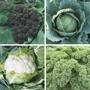 Winter Greens Brassica Plant Collection