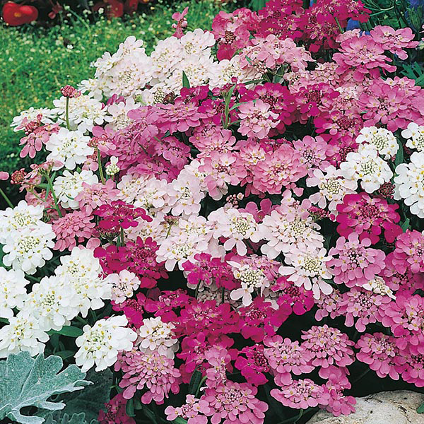 Candytuft Flower Fairy Candytuft Fairy Mixed Seeds