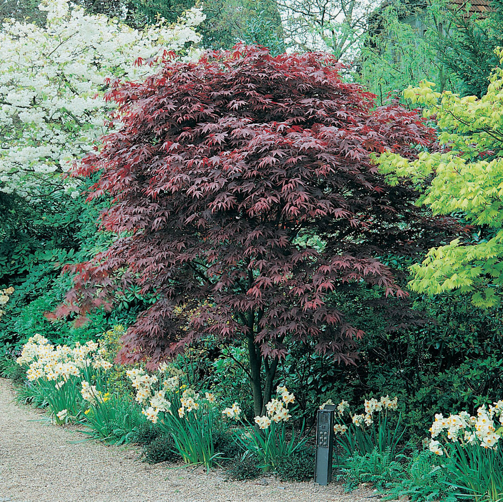 acer palmatum atropurpureum seeds mr fothergill 39 s flower seeds. Black Bedroom Furniture Sets. Home Design Ideas