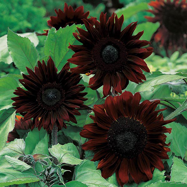 20 Black Flowers And Plants To Add Drama To Your Garden: Sunflower Black Magic F1 Seeds From Mr Fothergill's Seeds