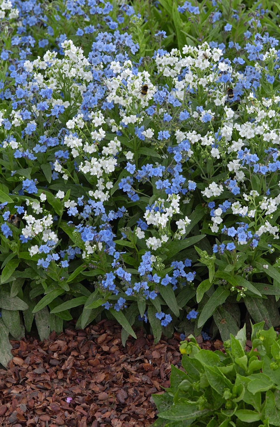 chinese forget me not chill out seeds from mr fothergill 39 s. Black Bedroom Furniture Sets. Home Design Ideas