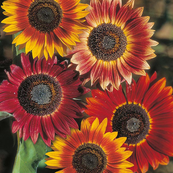 as the flowers of a sunflower track the sun they are exhibiting The mystery of why sunflowers turn to  them away from the sun – and they found those flowers eventually had decreased biomass and less leave area than flowers that could move with the sun .