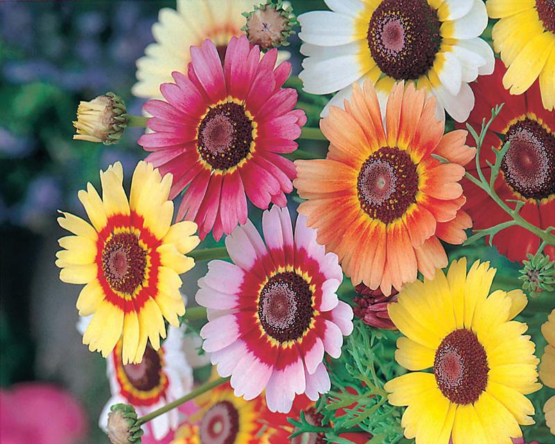 Rainbow mixed flower seeds d t brown flower seeds for Rainbow flower seeds