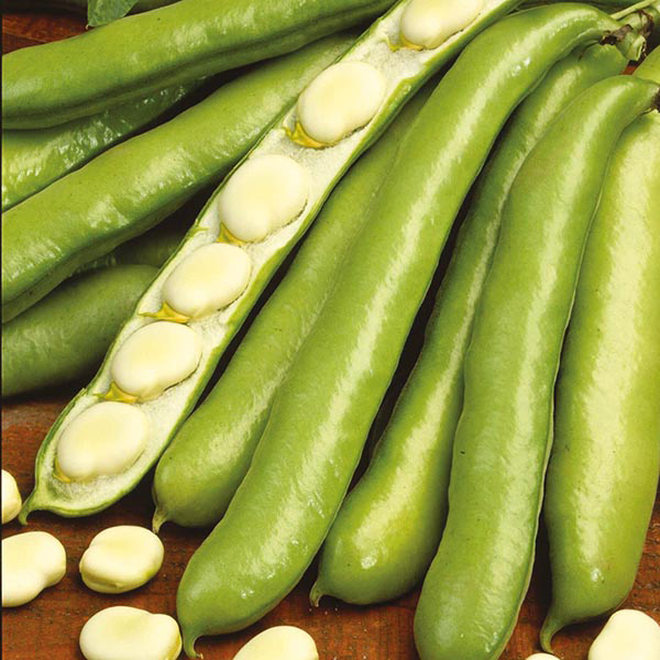 how to grow broad beans uk