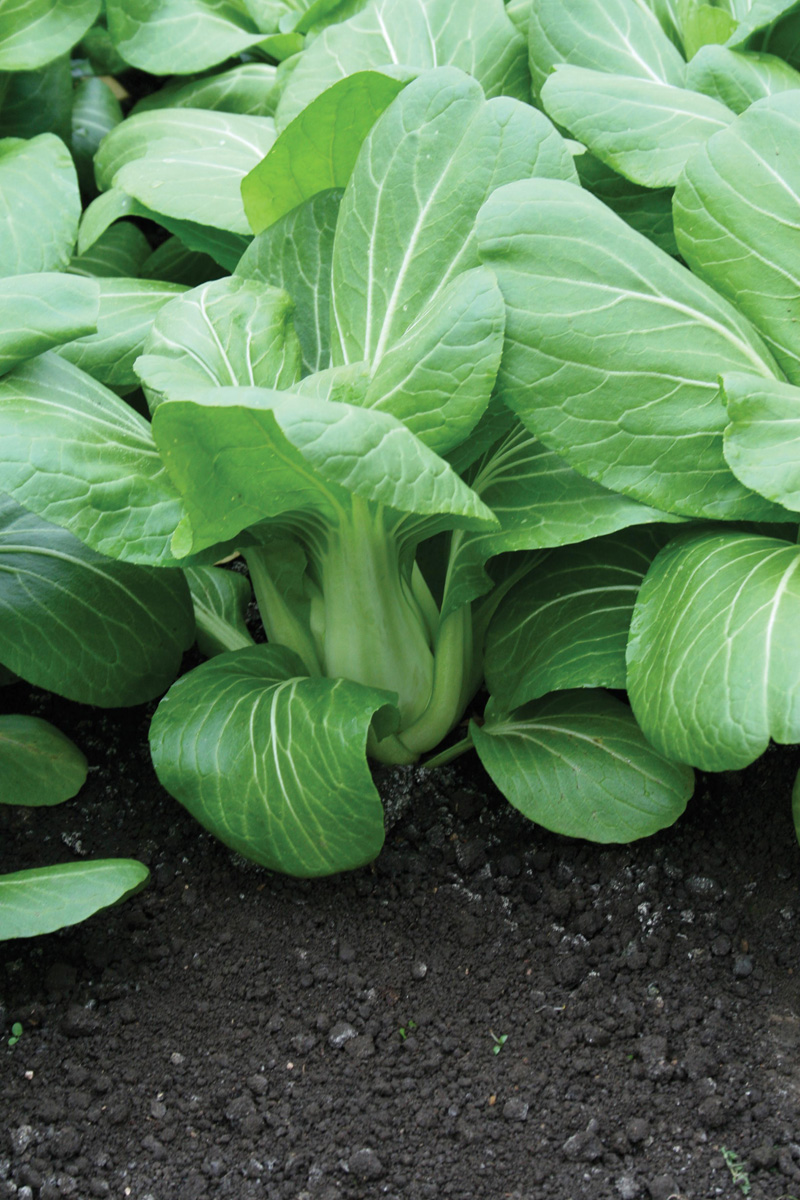 pak choi yuushou f1 seeds d t brown vegetable seeds. Black Bedroom Furniture Sets. Home Design Ideas