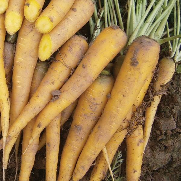 how to get carrot seeds from plant