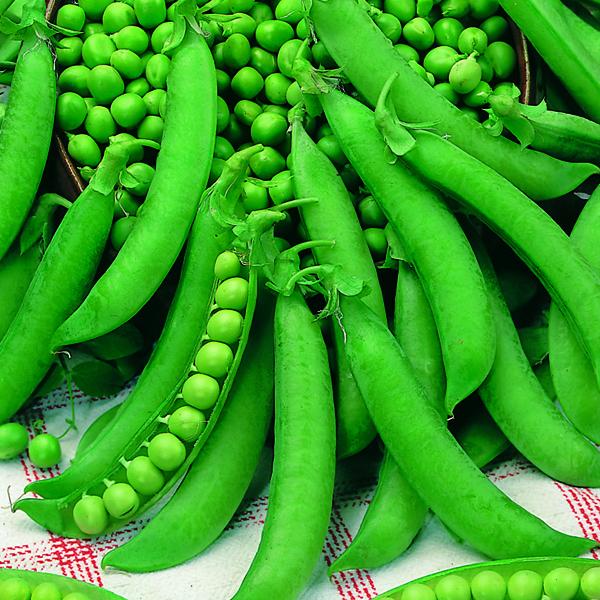 get growing pea petit pois calibra mr fothergill 39 s vegetable seeds. Black Bedroom Furniture Sets. Home Design Ideas