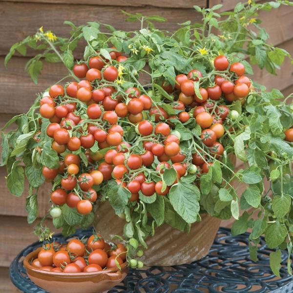 Tomato Cherry Falls Cherry Tomato Plant Bonsai Fruit 640 x 480