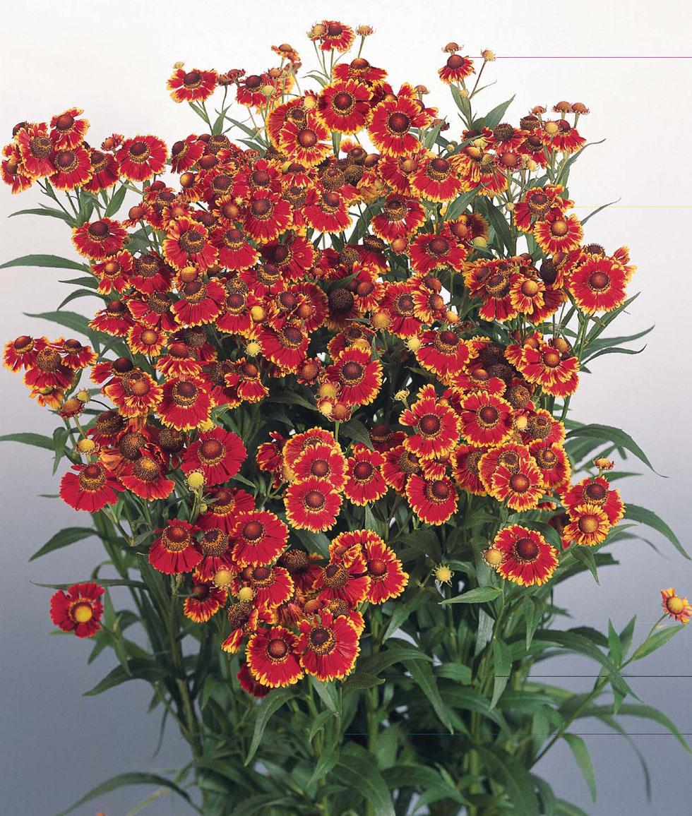 http://s3-eu-west-1.amazonaws.com/seeds-plants-gardening/product-images/op/z/2482_1.jpg